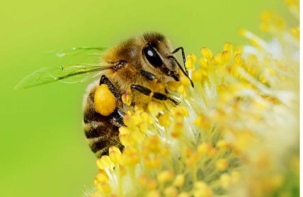 abeja