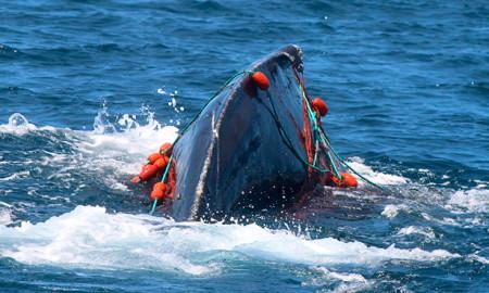ballena-red