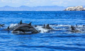delfinesaltari