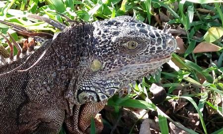 iguana-verde