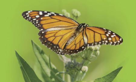 mariposamonarca