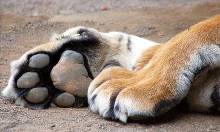 pata-tigre