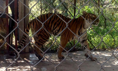 tigre-michoacan-profepa